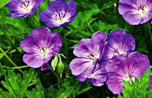 geranium-source-for-energy