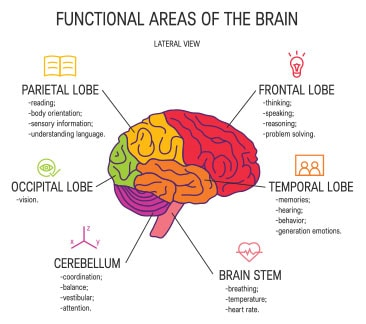 Diagram Of The Functions Of The Brain