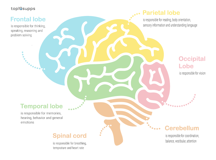 Diagram Of What The Different Parts Of The Brain Do
